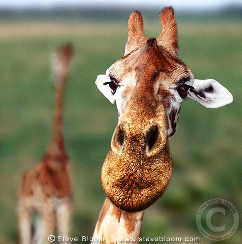 Giraffe close-up (captive)