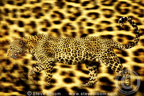 Leopard on leopard skin background (conceptual composite image)