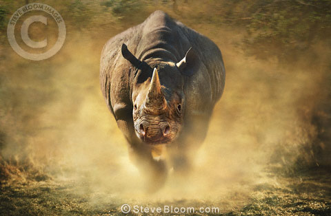 Charging black rhinoceros