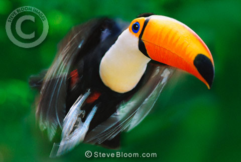 Toco toucan in flight (captive)