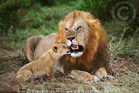 African lion and cub, Masai Mara, Kenya