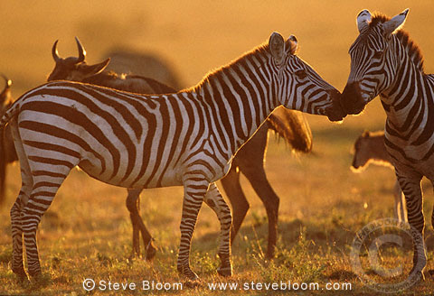 Zebras and wildebeest at sunset, Masai Mara, Kenya