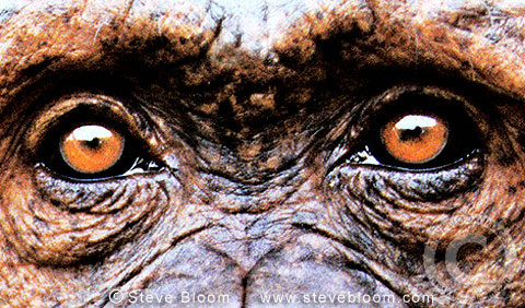 Chimpanzee's eyes (captive)