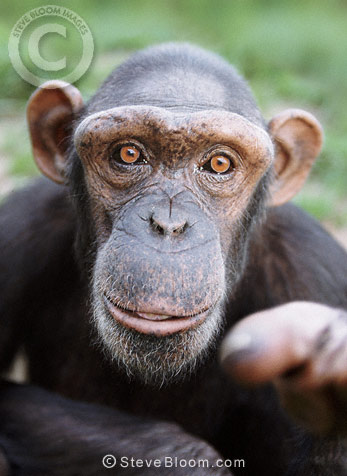 Chimpanzee pointing (captive)