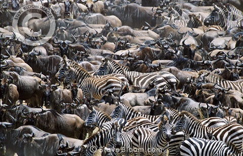 Wildebeest and zebra during the Great Migration, Masai Mara, Kenya