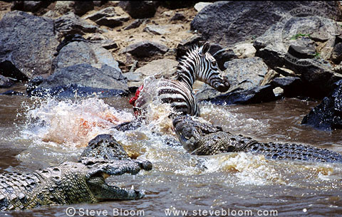 Nile crocodiles attacking zebra, Mara River, Kenya