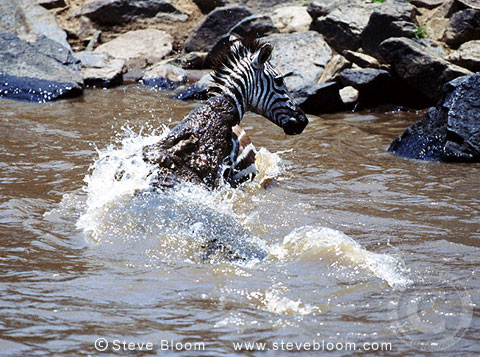Nile crocodile attacking zebra, Mara River, Kenya