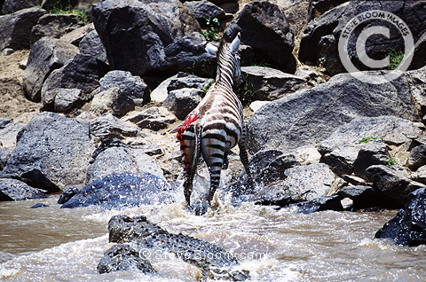 Zebra escaping from attack by Nile crocodiles, Mara River, Kenya