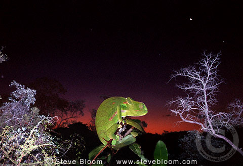 Flap-necked chameleon at night, South Africa