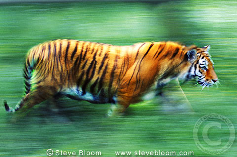 Tiger walking (captive)