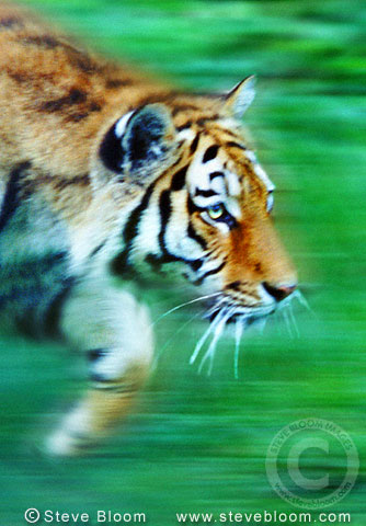 Tiger prowling (captive)