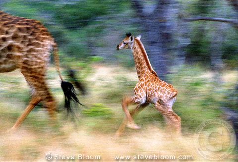 Giraffe and young running, South Africa