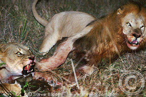 Aninimal Book: African lions fighting over a kill, South Africa