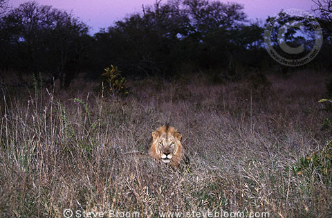 African lion in undergrowth at night, South Africa
