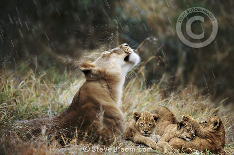 African lioness and cubs in rain, South Africa