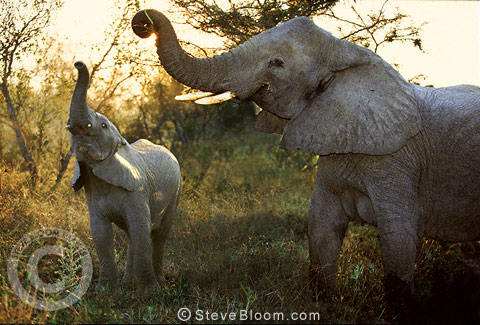 African elephants in the early morning, South Africa