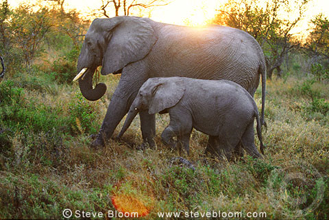 African elephant and young, South Africa