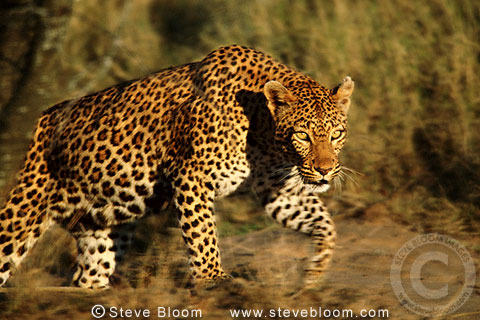 African leopard, South Africa