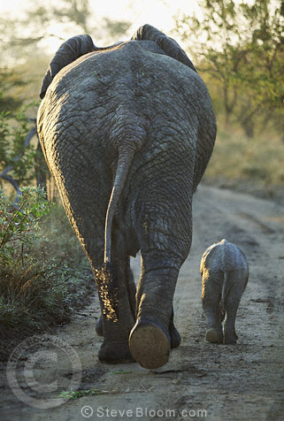African elephant and calf seen from behind, Kapama, South Africa.