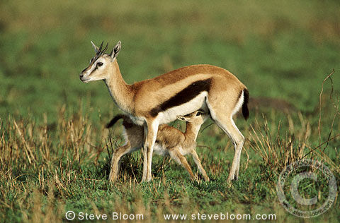 Thomson's gazelle feeding young, Masai Mara, Kenya