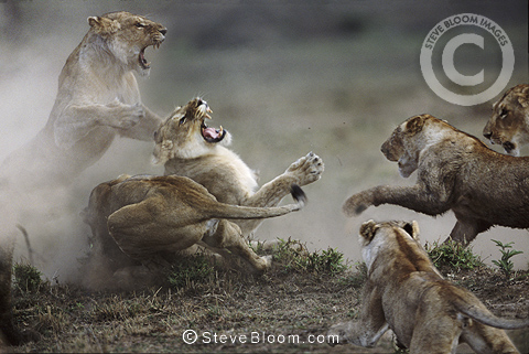 African lionesses fighting, Masai Mara, Kenya