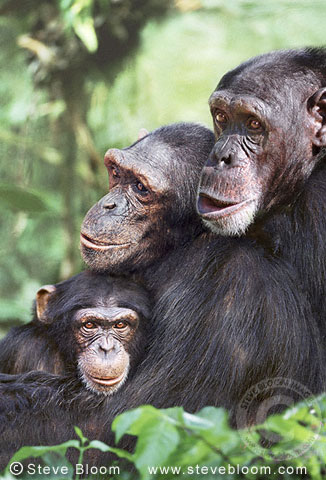 Chimpanzees (captive)