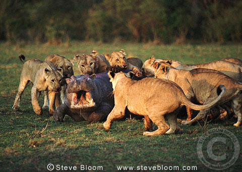 B Moose Peterson African lions attackin...