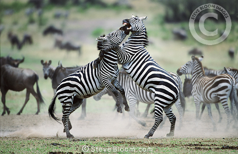 Burchell's zebrastallions fighting, Masai Mara, Kenya