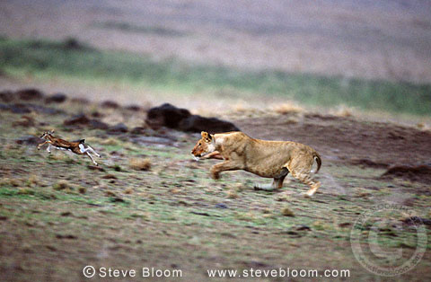 African lioness chasing a young Thompson's gazelle, Masai Mara, Kenya