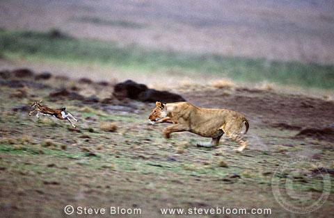 African lioness chasing a young Thompson's gazelle, Masai Mara, Kenya ...