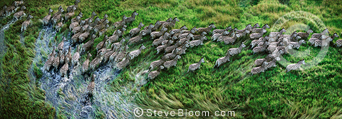 Aerial view of Burchell's zebraherd running through swamp, Okavango Delta, Botswana