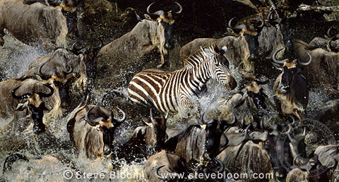 Single zebra amongst herd of migrating wildebeest, Mara River, Kenya