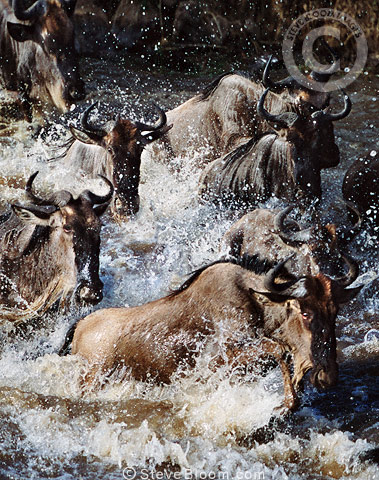 Wildebeest crossing Mara River on migration, Africa