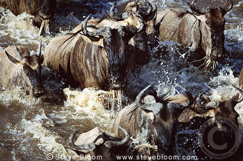 Wildebeest crossing Mara River during the Great Migration, Kenya, Africa