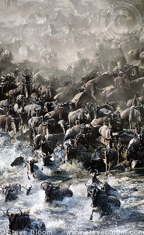 Wildebeest and zebras massing to cross Mara River during migration, Kenya