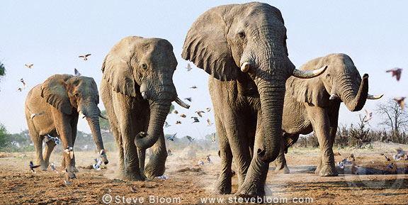 African elephant procession amongst flock of birds, Savuti, Botswana