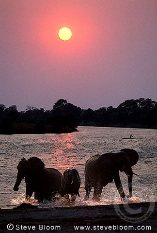 African elephants and canoe at sunset, Chobe River, Botswana