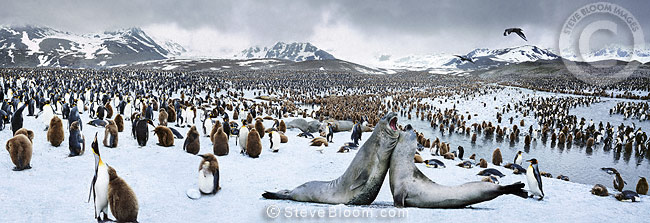King Penguin Colony with elephant seals, St. Andrews Bay, South Georgia.