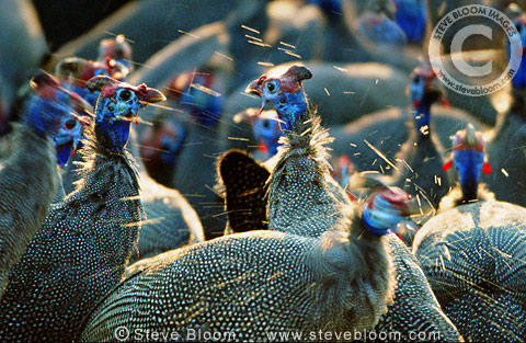 Crowned Guinea-fowl at the waterhole, Savuti, Botswana