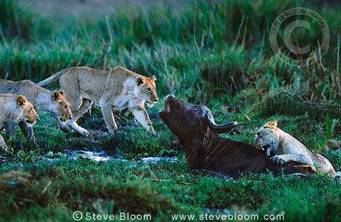 African Lions attacking buffalo in the swamp, Masai Mara, Kenya.