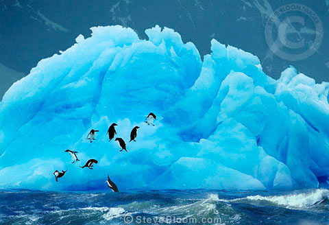 Adelie Penguins on blue iceberg, Antarctica.