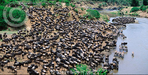 Wildebeest and zebra waiting to cross the Mara River, Kenya.
