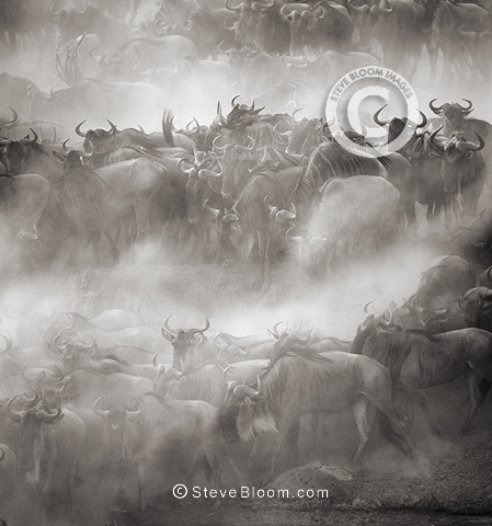 Wildebeest crossing Mara River, Kenya