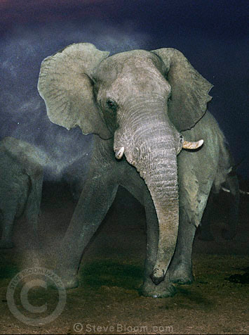 African elephant at night, Savute, Botswana.