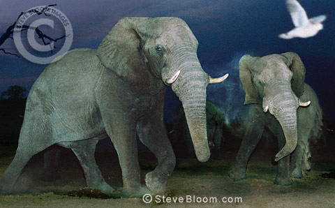 African elephants at night, Savute, Botswana.