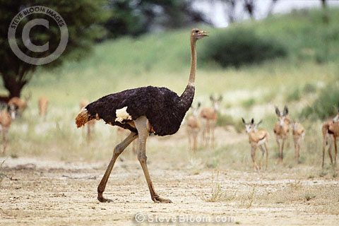 Male ostrich, Kalahari, South Africa