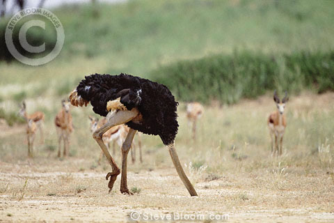 Ostrich with head in the sand (conceptual composite image)