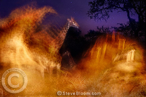 Giraffes at night, illuminated by moving spotlight, South Africa