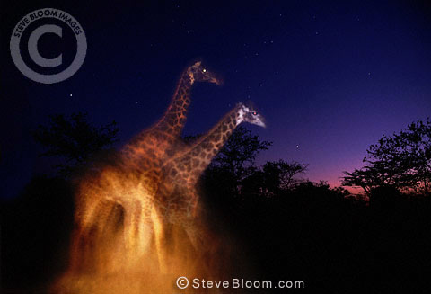 Giraffes at night, South Africa