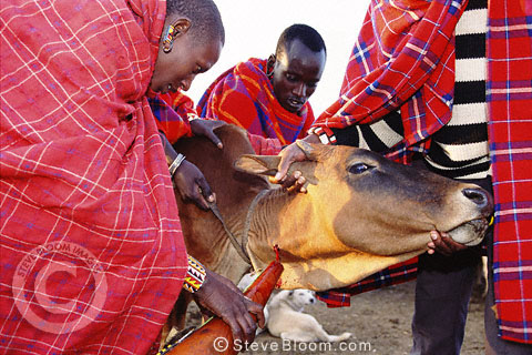 Maasai cow being bled to make the traditional Maasai blood/milk mixture which tribespeople drink, Kenya
